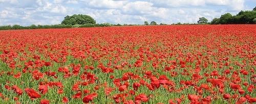 Poppy Field by scrumpyboy on Flickr.com