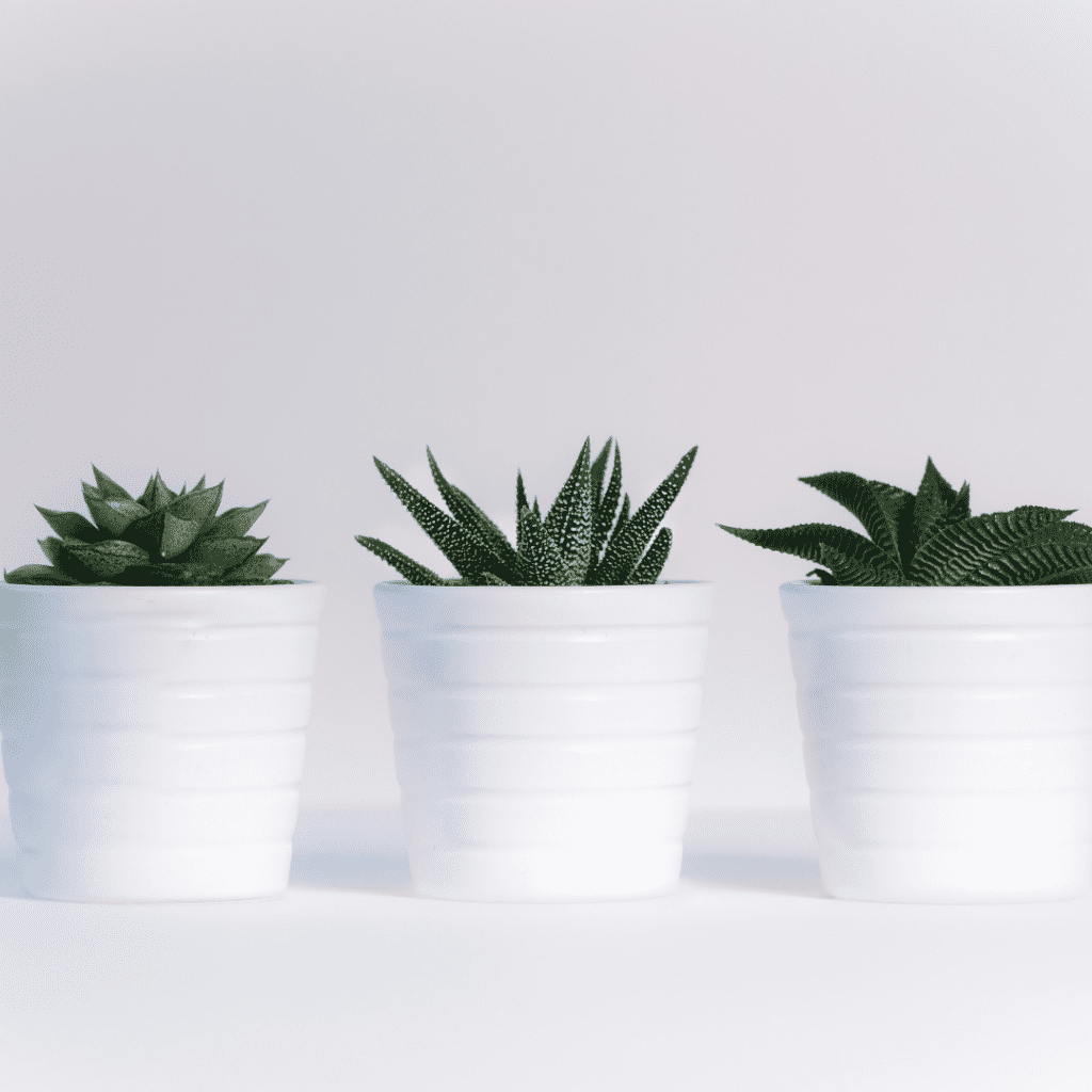 Three pots of succulents in a row
